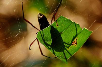 spiderleaf.jpg