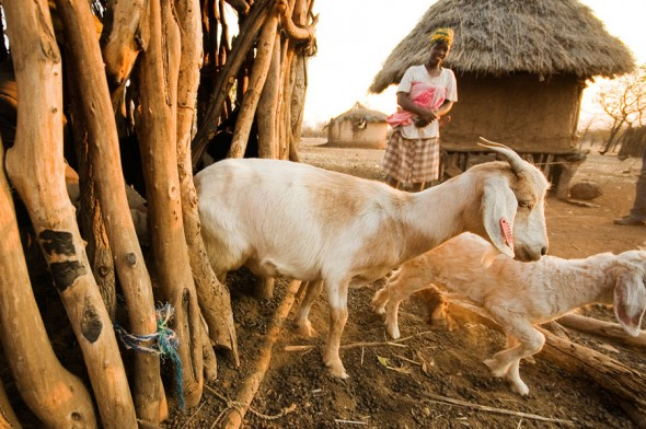 A woman watches over goats donated to her household by IOM as part of a biodigester distribution scheme to migrants returning to southern Zimbabwe from South Africa. A sustainable biogas is produced by harnessing the methane in the goats' waste, bringing power to regions that previously had none.